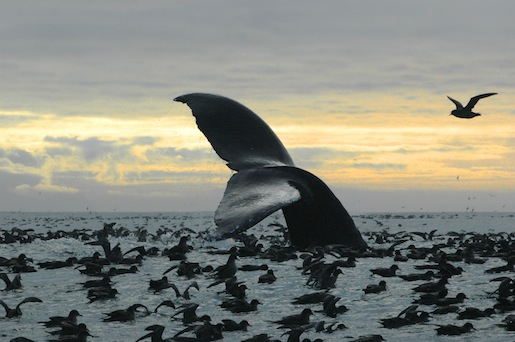 A humpback whale with shearwater birds in Bristol Bay.