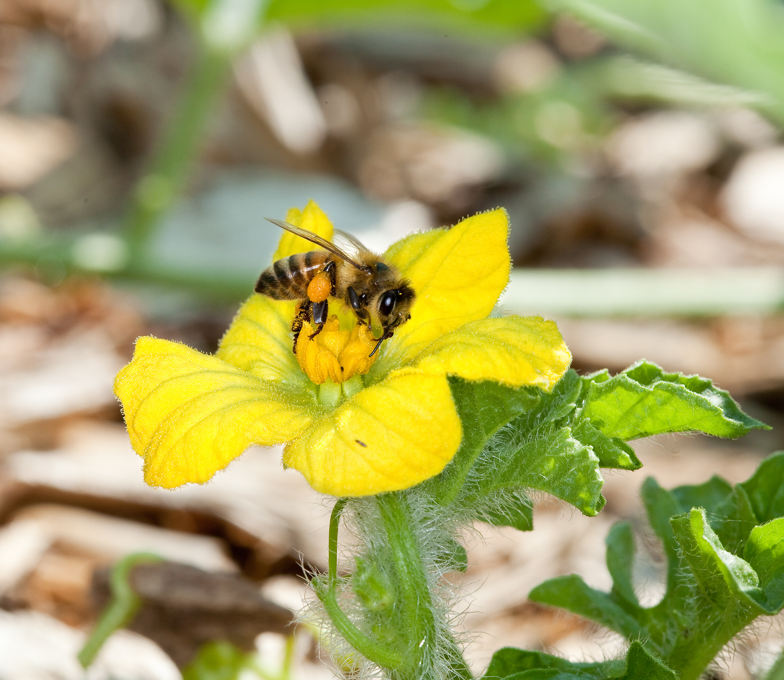 announcing new steps to promote pollinator health whitehouse gov