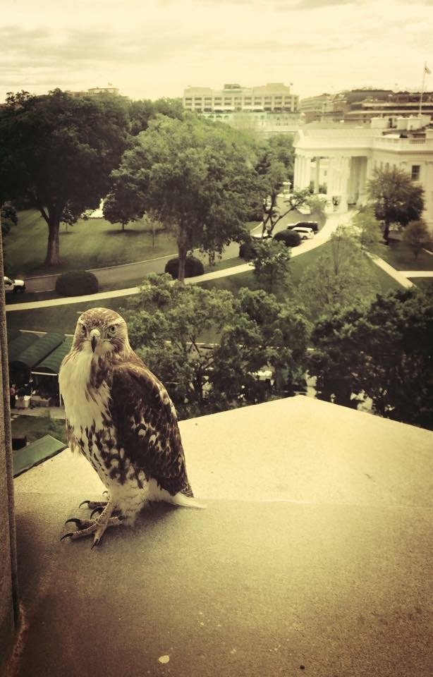 Red-tailed hawk at White House