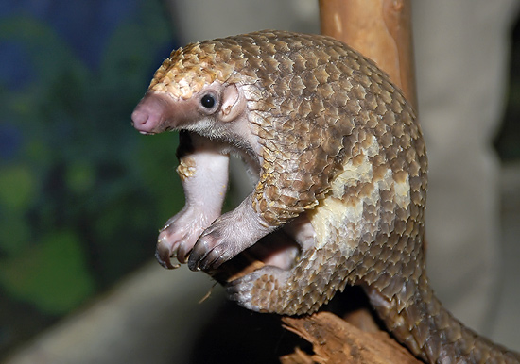 This is a pangolin.