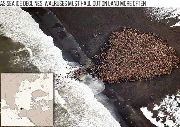 In recent years, loss of summer sea ice over the continental shelf has forced many walruses to move to the Arctic coasts of Alaska and Russia where they haul-out on shore to rest. Here, thousands of walruses are seen hauled out on a beach near Point Lay in northwest Alaska in late summer 2014. Photo: NOAA.