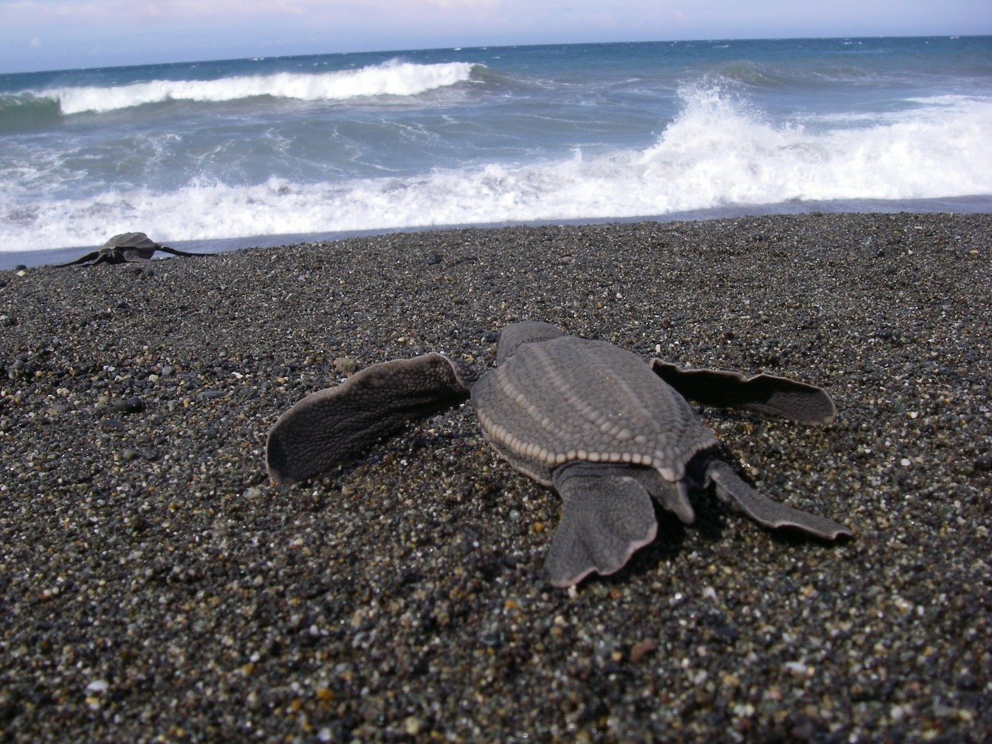 Endangered leatherback sea turtle hatchling starts its life with a journey toward the ocean.