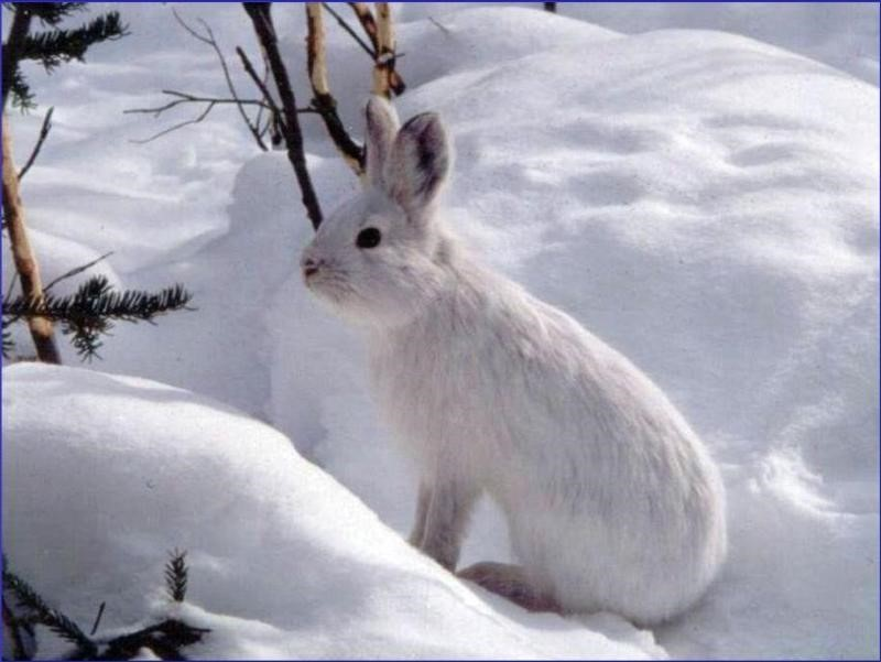 Snowshoe hare found in Gates of the Arctic National Park. (Photo Credit: National Park Service)