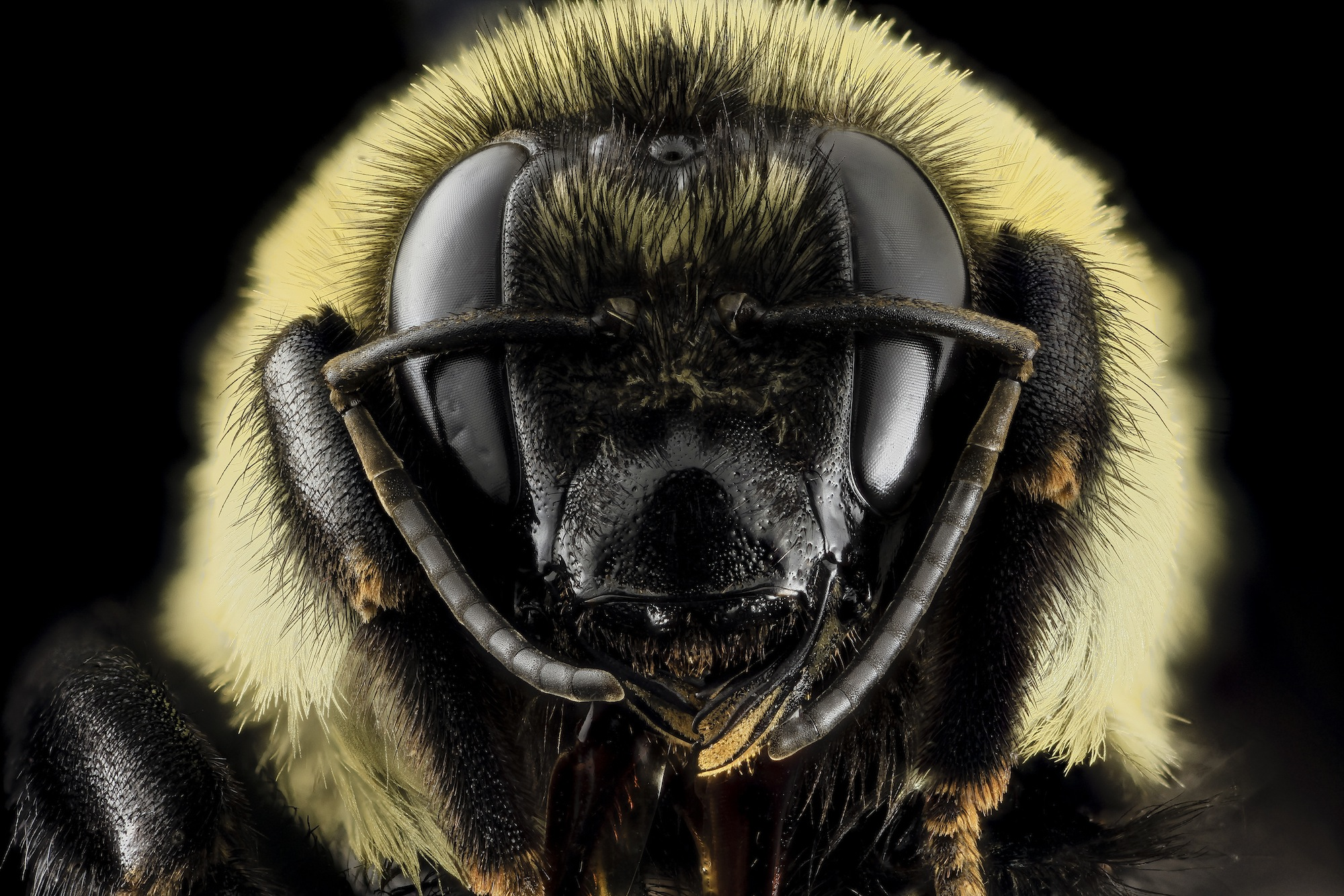 Close image of a honeybee