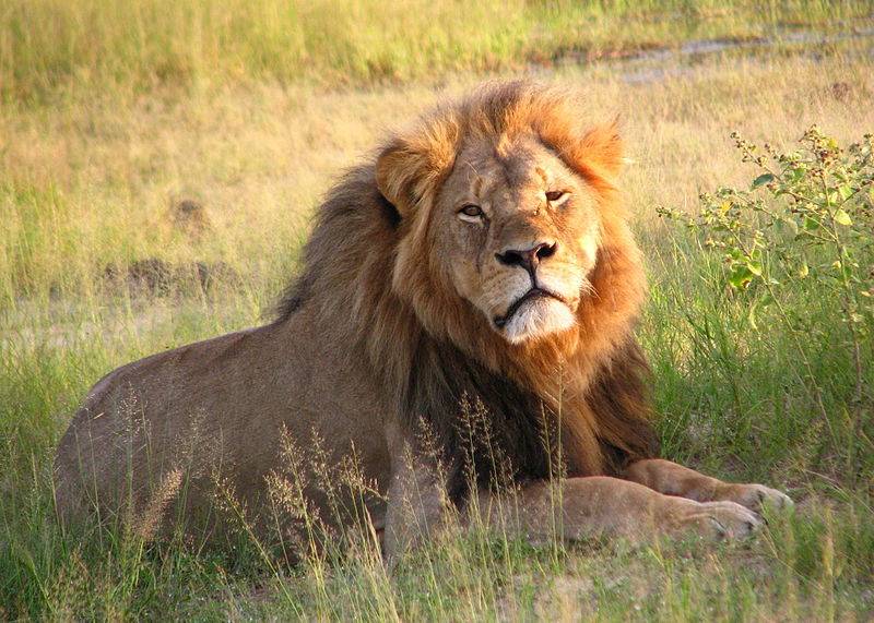 Cecil the lion at Hwange National Park, credit Daughter#3