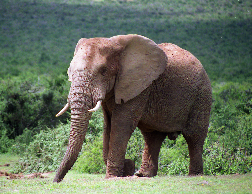 African Elephant, credit Brian Snelson